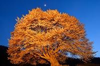 群馬県 片品村 ライトアップされた天王桜と月