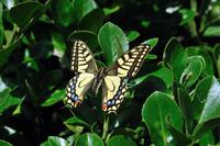 蝶 標本 キアゲハ