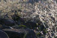 西日に光る筑波山梅林公園の梅の木々と巨岩
