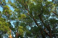 千葉県 西日の大樹 マテバシイ