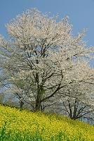 長野県 菜の花畑と桜の樹