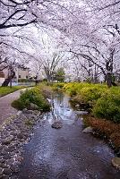東京都 根川緑道 桜