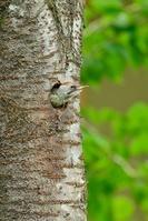栃木県 アオゲラの幼鳥(子供)