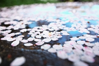 京都府 手水鉢に浮いた桜の花びら