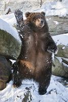 手を上げるコディアックヒグマ