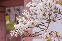 京都府 仁和寺 御室桜