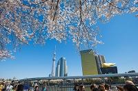 隅田公園 桜 東京スカイツリー
