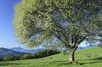 山梨県 北杜市 大泉町 八ヶ岳牧場 ヤマナシの花と富士山
