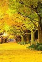 東京都 神宮外苑 早朝の銀杏並木