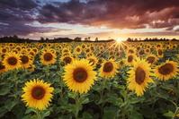 ドイツ バイエルン州 夕方のひまわり畑