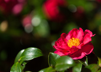 一輪の山茶花の花