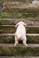 ゴールデンレトリバーの子犬(8週目) 犬