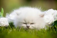 ブリティッシュロングヘアの子猫