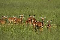 ジンバブエ ワンゲ国立公園 インパラ