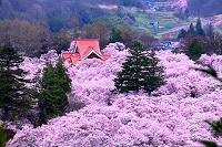 長野県 高遠公園 桜 夕景