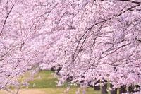 桜 ソメイヨシノ満開