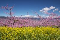 山梨県 桃の花と菜の花