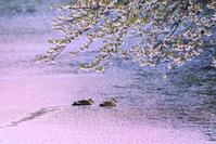 青森県 弘前城 早朝の外濠に浮かぶ桜の花筏と鴨