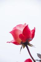 山形県 雨の日のバラ