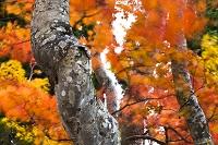 長野県 秋の野沢温泉上ノ平高原のブナ林