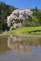 広島県 与一野の枝垂れ桜