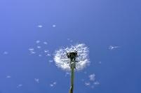 風に舞うタンポポの綿毛