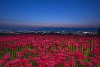 奈良県 ヒガンバナと夜明け
