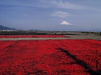 静岡県 富士山と小エビの天日干し