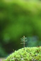 静岡県 富士山西臼塚 原生林の倒木に芽吹いた新芽