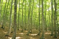 新潟県 新緑のブナ林