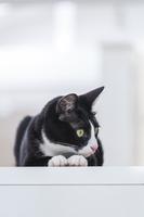 伏せをして見つめる猫