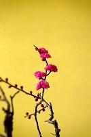紅梅と金屏風