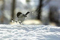 野鳥のジャンプ