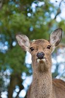 遠くを見つめる鹿