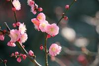 福岡県福岡市 舞鶴公園の梅