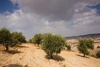 オリーブ畑 イルビット近郊 ヨルダン