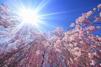 長野県 上田市 桜と太陽の光