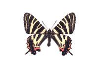 蝶 標本 ギフチョウ 日本