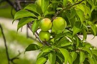 埼玉県 青梅の果実