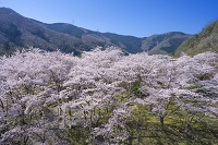 京都府 南丹市 大野ダム 桜