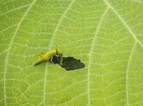 葉っぱを食べるバッタの幼生