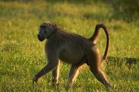 南アフリカ共和国 クルーガー国立公園 チャクマヒヒ