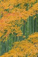 京都府 紅葉と竹林 常寂光寺