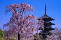 京都府 不二桜と東寺五重塔