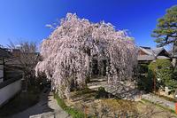 京都府 本満寺のしだれ桜と青空