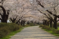 岩手県 北上市 北上展勝地の桜並木と