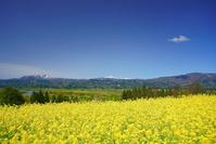 長野県 飯山市 菜の花畑と斑尾山と妙高山遠望