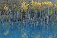 北海道 美瑛町 紅葉の青い池