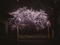 満開の梅の木