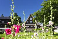 富山県 相倉合掌造り集落とタチアオイの花